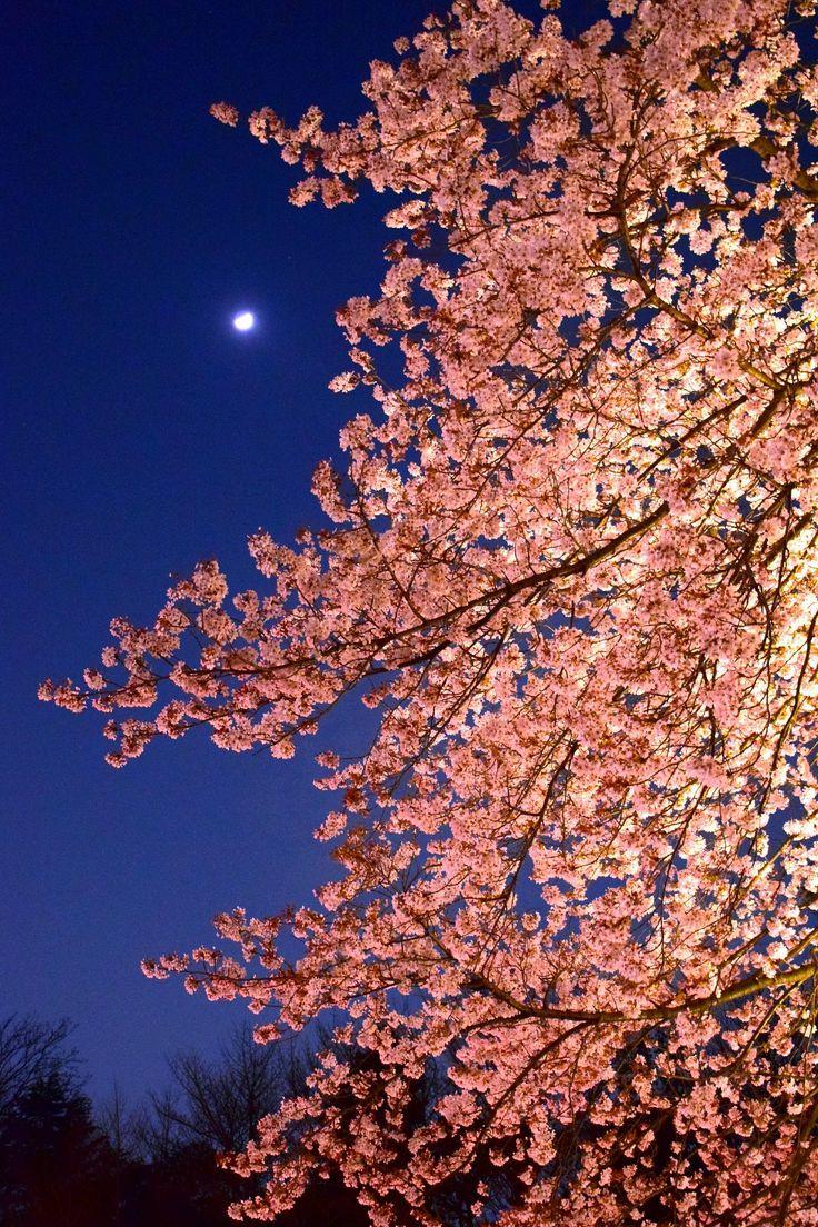 市川市・里見公園桜ライトアップ Cherry Blossom Light Up in Satomi Park Ichikawa city,Japan