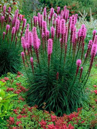 Liatris spicata: Blooms late summer through fall.  1-2 ft wide/ 1-8 ft tall