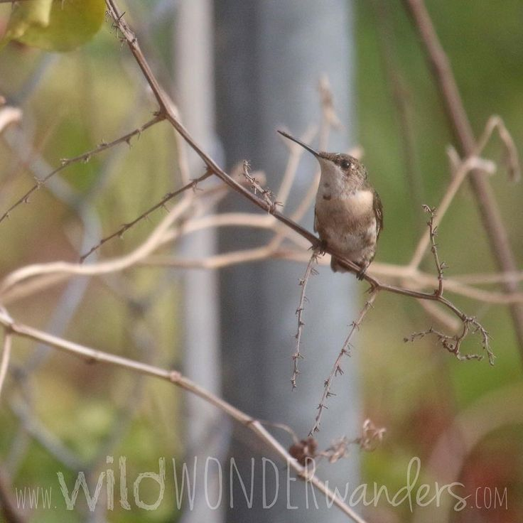 This photo of a little #hummingbird resting on branch turned out better than I expected being that is was taken from behind the mesh screen covering my window. I thought I'd miss it if I waited until I was outside to take the photo.