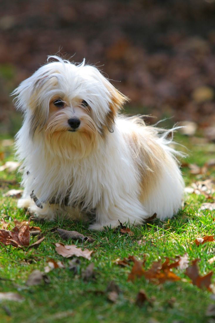 1000+ images about Havanese haircuts on Pinterest  Names, Central park and Happy dogs