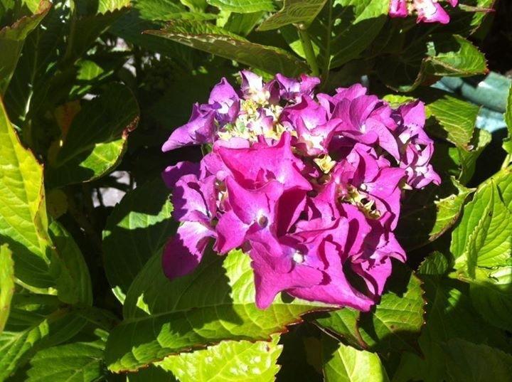 Hortensia from our garden