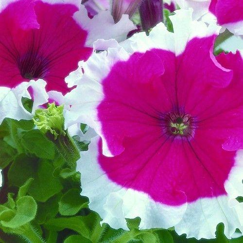 Petunia Frost Cherry Flower Seeds (Petunia x hybrida) 50+Pellets