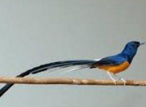 http://jenisburung.com/jenis-burung-murai.html