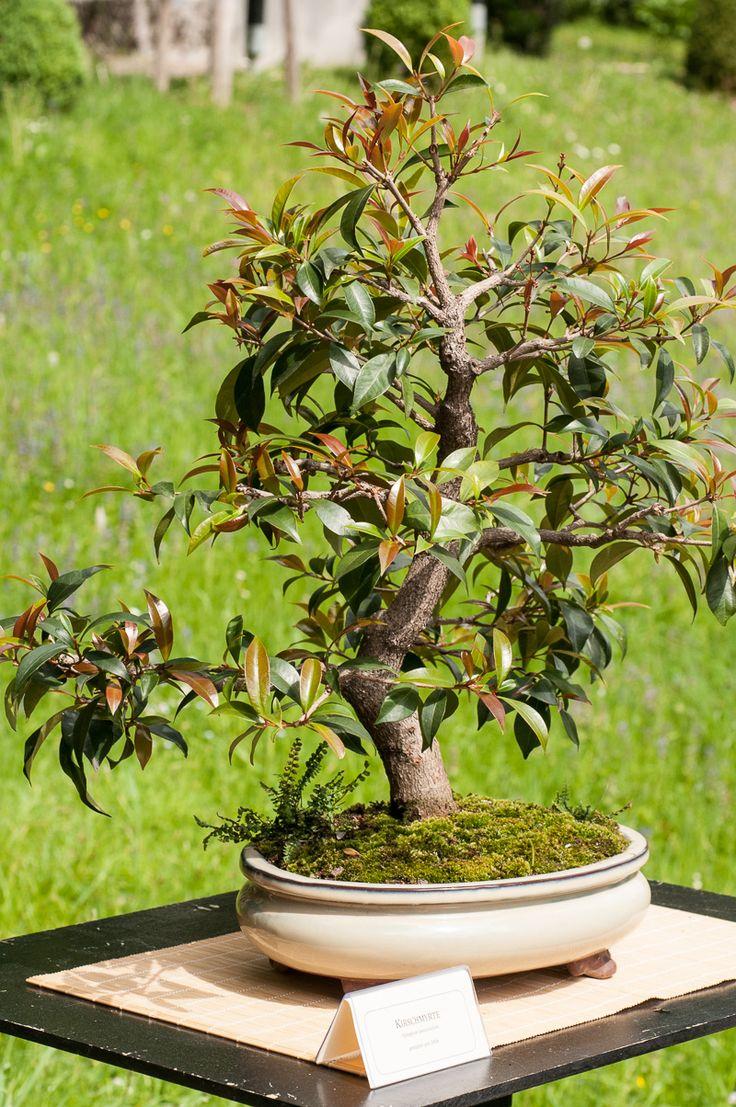 pin by bernd schmidt on bonsai b ume pinterest. Black Bedroom Furniture Sets. Home Design Ideas