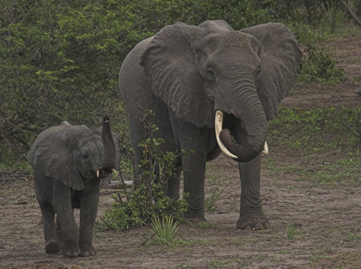 From the Tembe Reserve - http://www.elecam.org