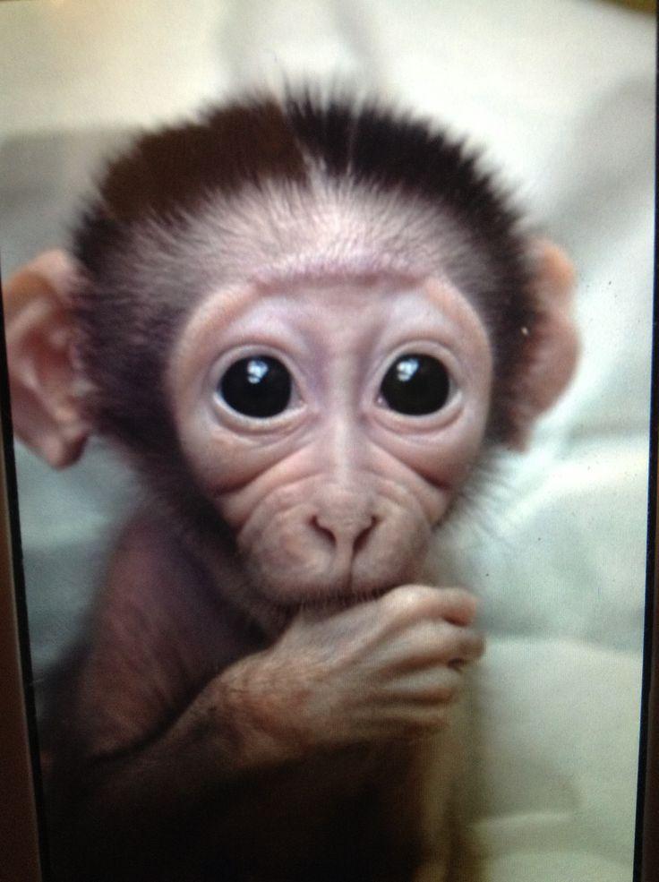 Cute baby monkey sucking his thumb
