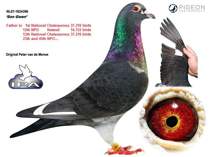 International Pigeon Auctions - IPA