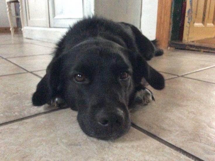 Lazy dog Mini