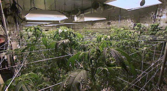 Inside a California Marijuana Grow House in the San Fernando Valley | Weedist