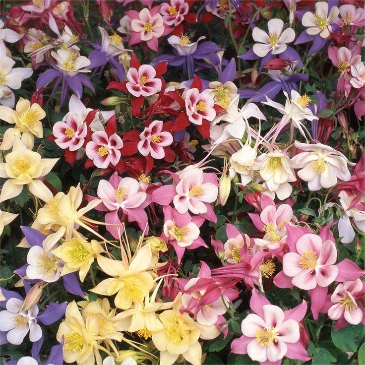 Plant-garden Jewel Range Bio Aquilegia Assorted #summerflowers #spurredflowers #cottagegarden