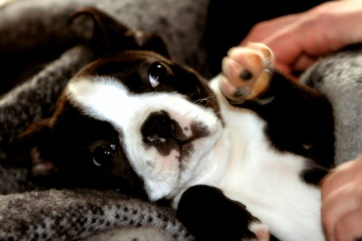Looking for a good, child-friendly dog for the family? Check out the Boston Terrier! This article gives a great overview of the Boston Terrier's breed profile.