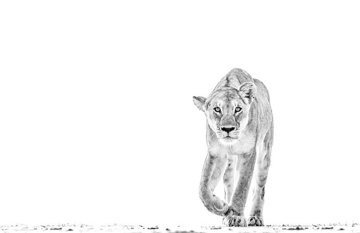 Lion stalking in a BW fine art print by wildlife photographer Dave Hamman