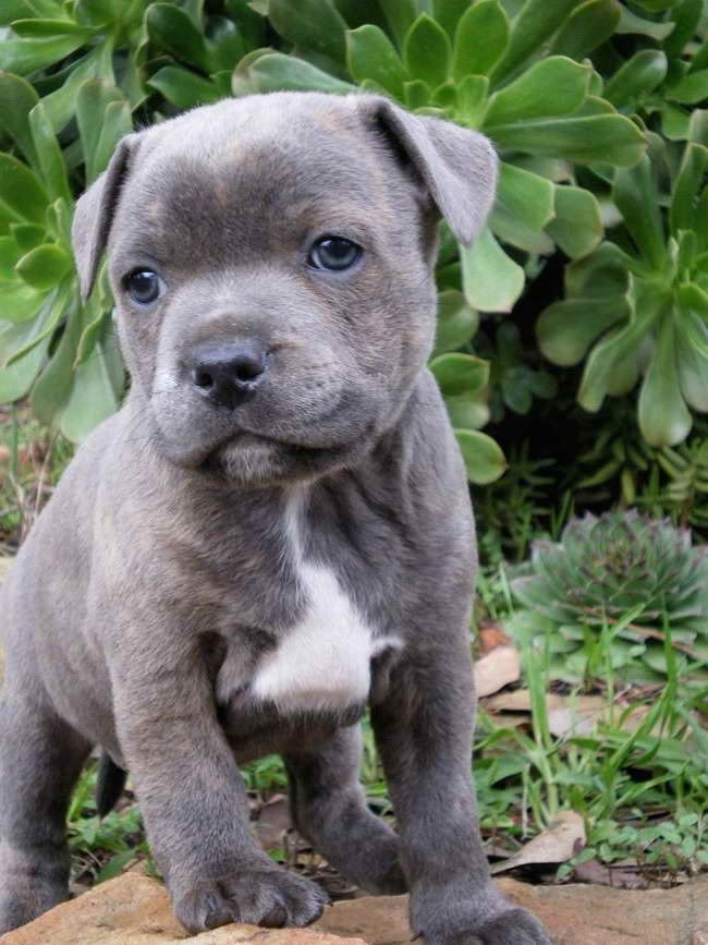 Blue Staffordshire Bull Terrier Puppy Bullterrier Welpe Terrier Hund Staffordshire Bullterrier