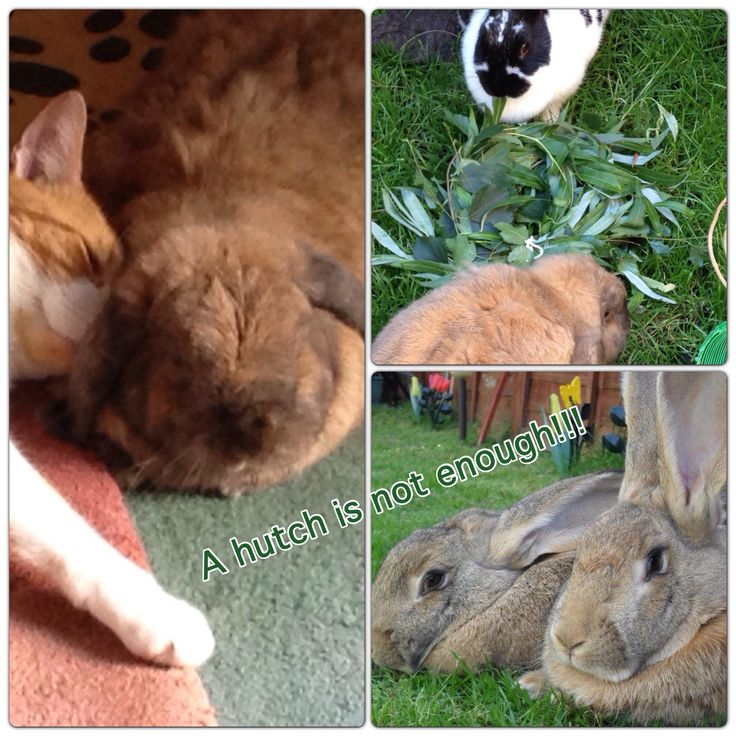 Shannon and Shamus are Giant continentals, Fudge and Rolo with their willow ring and Dec is a house bunny getting cosy with Rascal the cat. They all agree a hutch isn't enough for bunny rabbits!