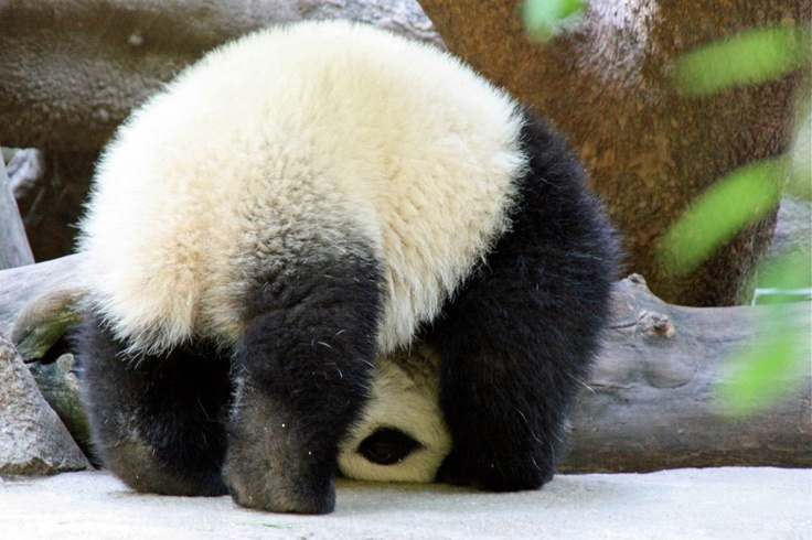 パンダの子