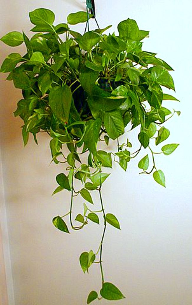 Heart Leaf Philodendron · Indoor Hanging PlantsIndoor ... Part 51