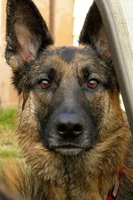 #German #Shepherd #Dog. One serious badass.