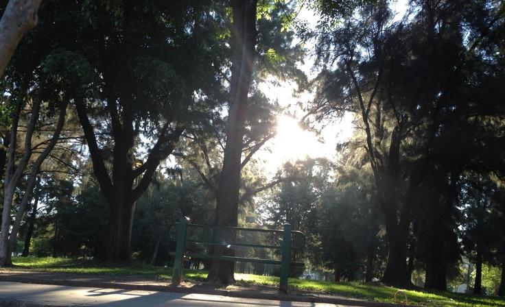 Bosquesillo en el fraccionamiento Residencial Loma Bonita, Zapopan de Cedro Blanco, Casuarina  y el indeseable Ficus.