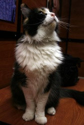 Lulu is an adoptable Calico Cat in Saint George, UT. Lulu is a gorgeous, large, long haired Calico. She is so sweet and loves being petted and held. Her owners were very sad when they had to give her ...Calico Cat