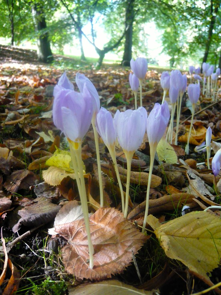 The forest floor at the National Botanic Gardens Glasnevin (Dublin Ireland) was carpeted with delicate fall-blooming crocus (Colchicum) when I visited in September 2010. Reaching for sunlight, these tenacious flowers pushed through the leaf, not around it.  photo by Vanessa Crews, 29 Sep 2010