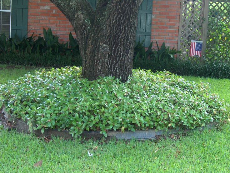 31 best garden tx groundcover images on pinterest for Plants around trees landscaping