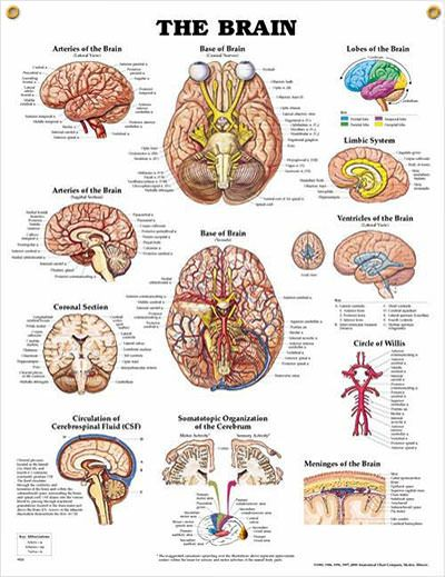 Brain anatomy poster human anatomy poster shows cranial nerves and vessels in the base of brain.