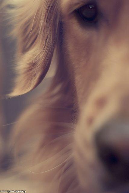 Golden Beautiful golden goldenretriever dog
