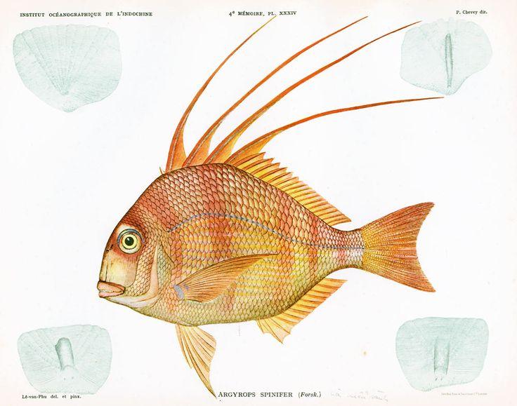 1932 Spare Royal. Argirops spinifer. Gravure Originale. Pêche. Poisson Tropical. Ichtyologie Asie Pacifique Ocean Indien. de la boutique sofrenchvintage sur Etsy