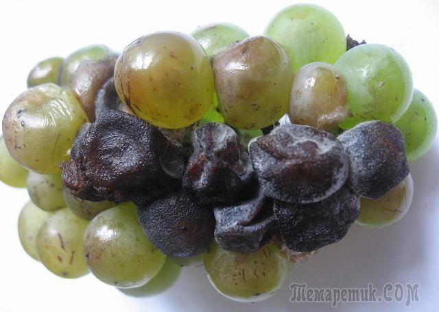 Почему сохнут ягоды винограда?