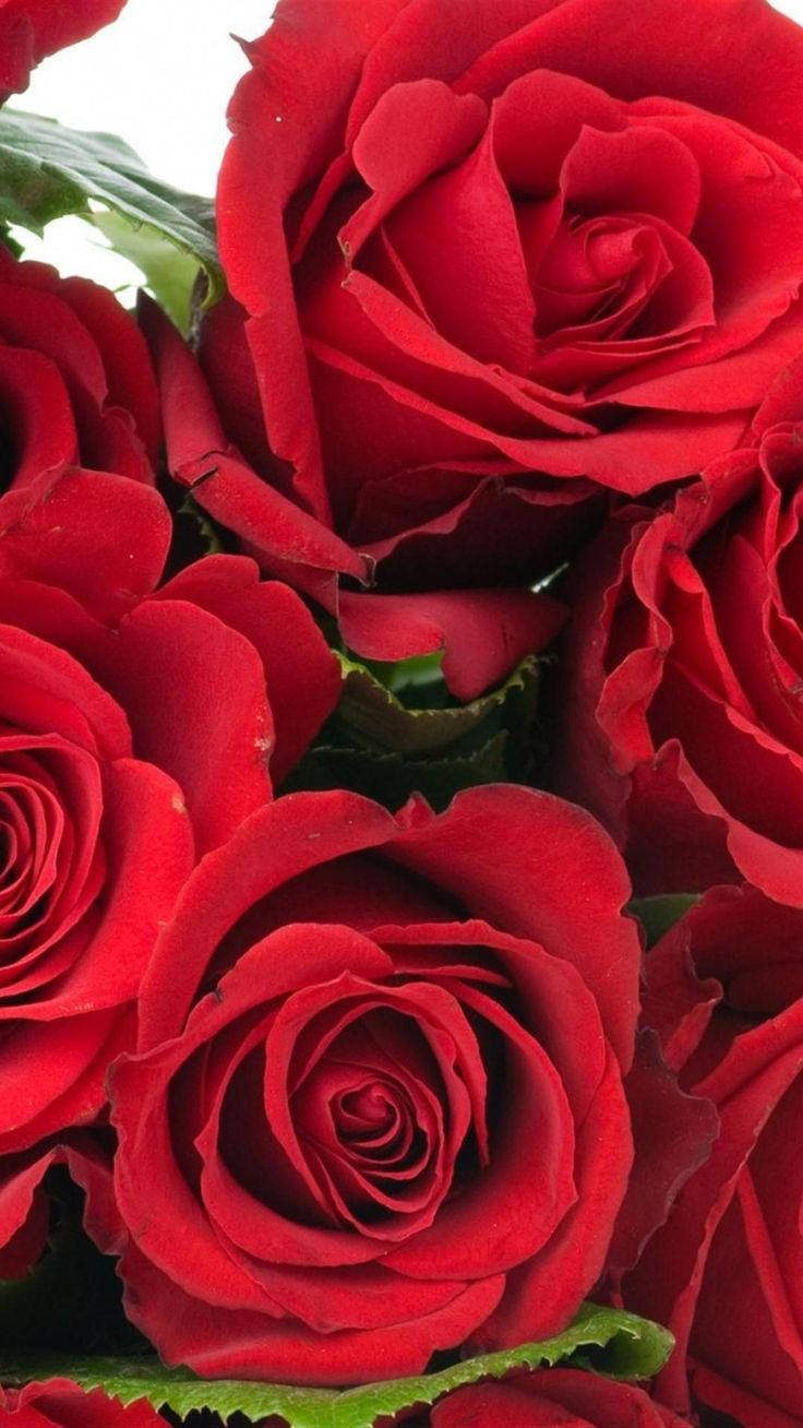 roses flowers bouquet bright red beauty iphone 6 plus