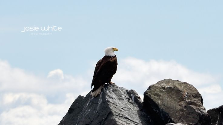 Eagle, Campbell River, Vancouver Island, BC, Canada  Josie White Photography
