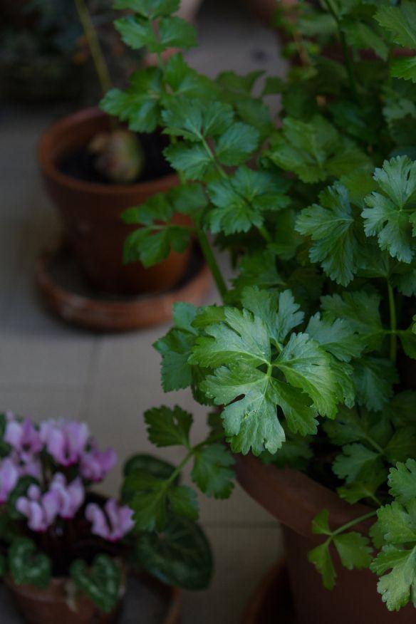 Celery | balcony vegetable garden