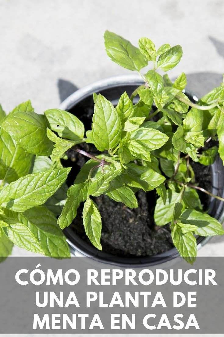 Cómo reproducir una planta de menta en casa.