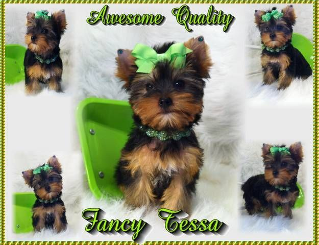 Yorkies By Elainea Yorkie Puppies For Sale Yorkiepuppyontario Teacup Yorkie Puppy Yorkie Puppy Yorkie Dogs