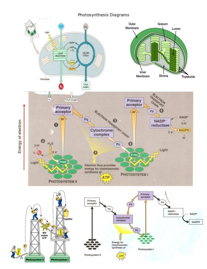 photosynthesis and cellular respiration worksheet google search biology stuff pinterest. Black Bedroom Furniture Sets. Home Design Ideas