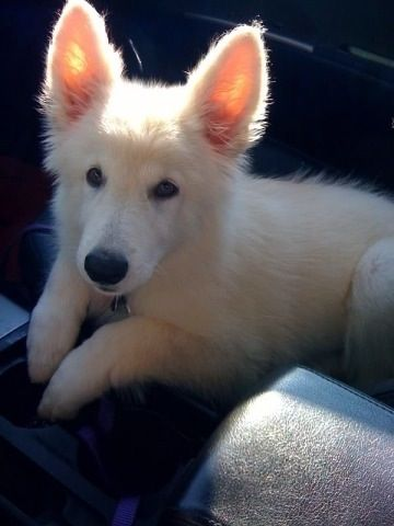 White Shepherd puppy. I WANTS. There was one for adoption on CraigsList this morning but the fiance said no :(