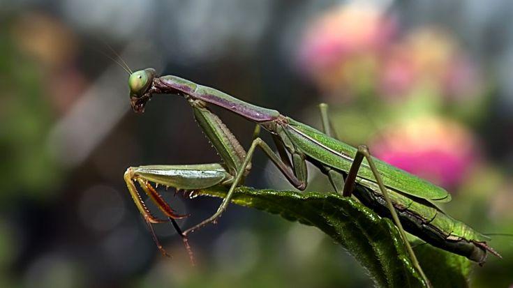 Mantis religiosa by Loscar