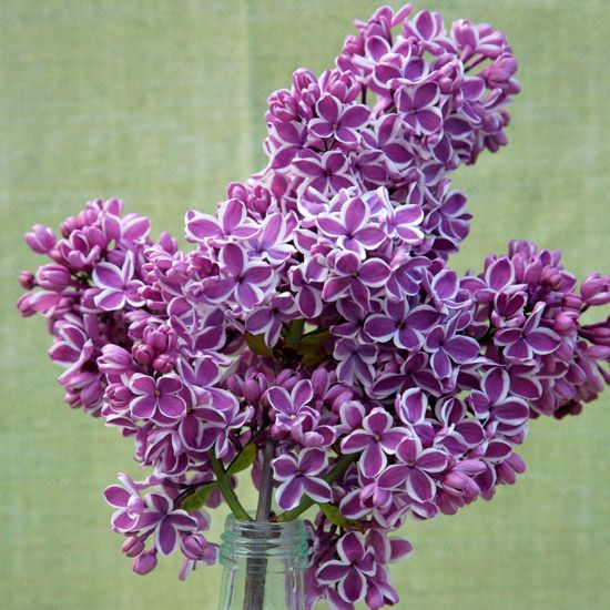 Sensation - Name: Syringa 'Sensation'  Growing Conditions: Full sun and moist, well-drained soil  Size: To 12 feet tall and 8 feet wide  Zones: 3-7