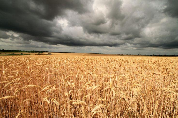 Magnifique champ de blé lors d'une randonnée en Normandie.