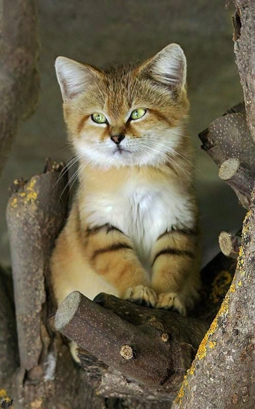 The desert cat (Felis margarita) is the only cat living foremost in true deserts.
