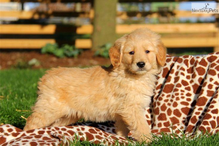 Park Art|My WordPress Blog_Golden Retriever Puppies Idaho For Sale