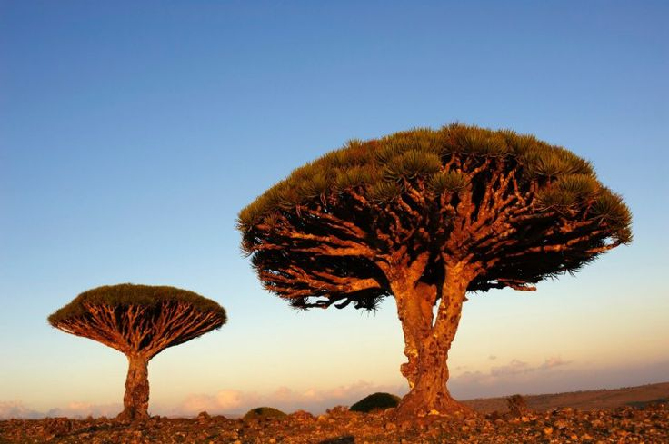 "Marooned in the Indian Ocean, this isolated archipelago of four islands claims hundreds of unique species and is well known for its alien landscape. If you think te shape of this Dracaena cinnabari tree is weird, wait until you find out that its name translates to ""dragon's blood tree"" thanks to its red sap, which is traditionally used as a dye."