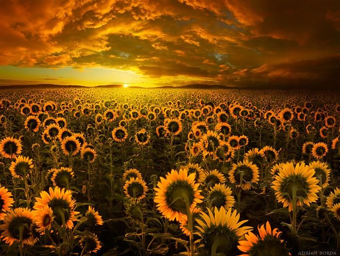 Sundown at The Sunflower Fields