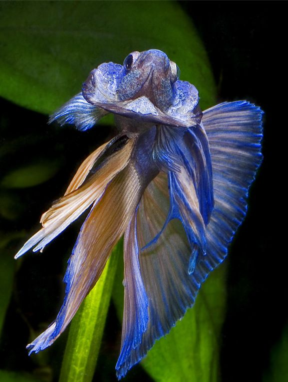 1235 best images about aquascape ornamental fish on for How to breed betta fish