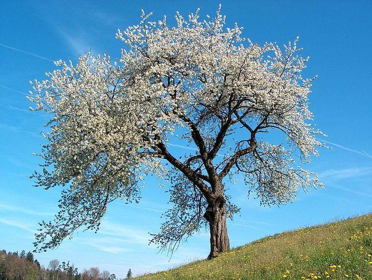 """Les pétales tombés des cerisiers de mai / Sont les ongles de celle que j'ai tant aimée..."""""""