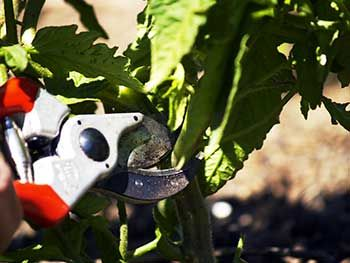 Pruning your tomato plants helps them to produce better tomatoes and resist disease and pests