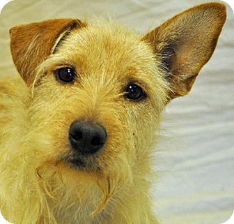 Mustang - Wheaten Terrier - Adult Male - Modesto, CA - Wags and Whiskers Rescue - http://www.wawr.org http://www.adoptapet.com/pet/10034815-modesto-california-wheaten-terrier