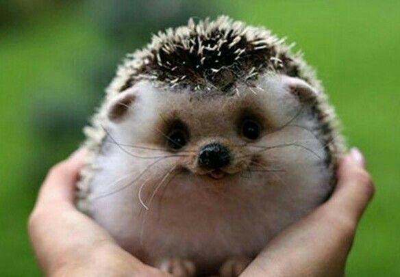 Hedgehogs!!!