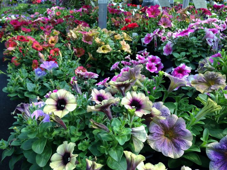 Specialty Annuals at LMG. Looking for something unique. We have a lovely selection of locally grown specialty annuals.
