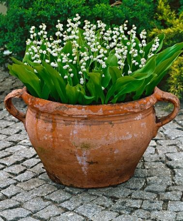 Lily of the Valley - need to transfer some into pots like this